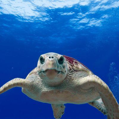 caretta-loggerhead-turtle-dalyan-sq-900.jpg